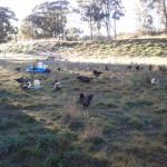 Chickens free rangin' at Milkwood