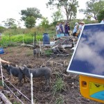 Piggies and solar powered electrical fence