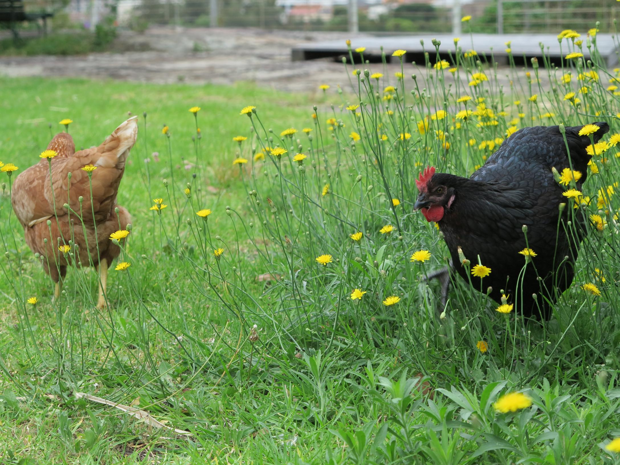 Baba Ganouj (RIP) and Daria free ranging amongst the dandelions in mid-2014