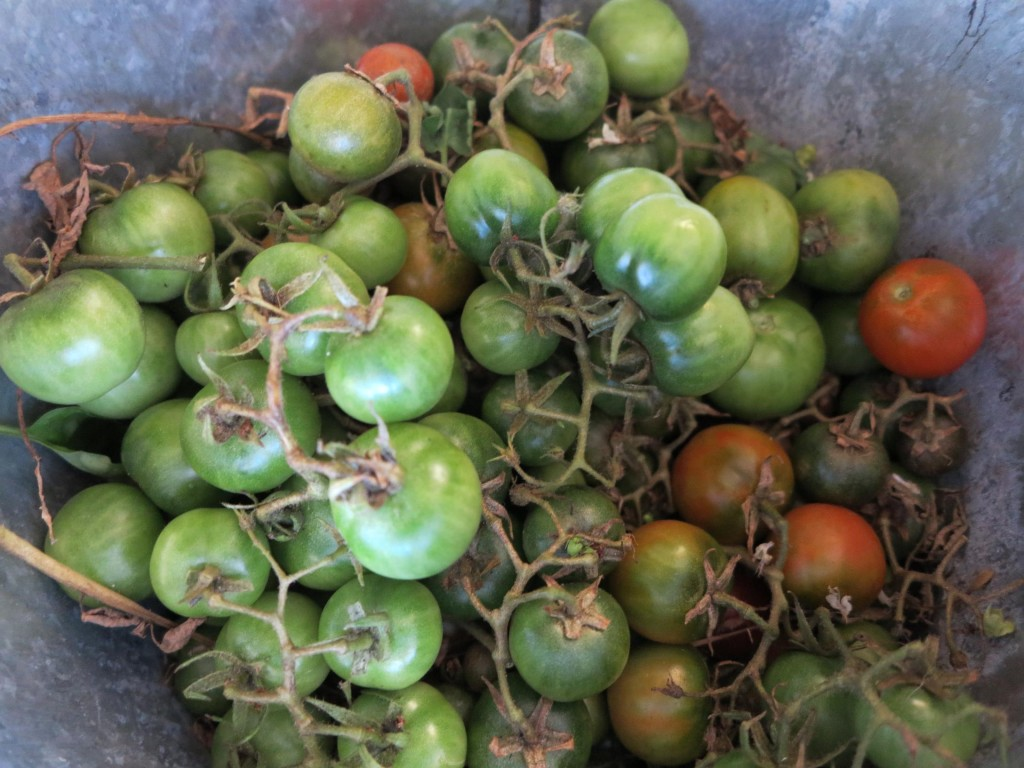 We made kilos of Green Tomato Chutney with these unwieldy weedy fruit